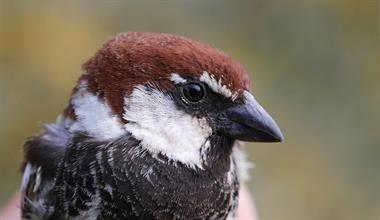 Bird Ringing at Manoel Island's Glacis Park